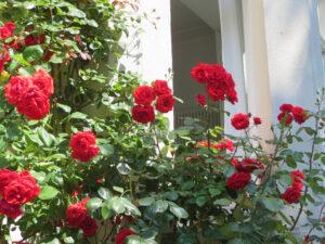 Rosen Praxis an der Lippe 2014 2